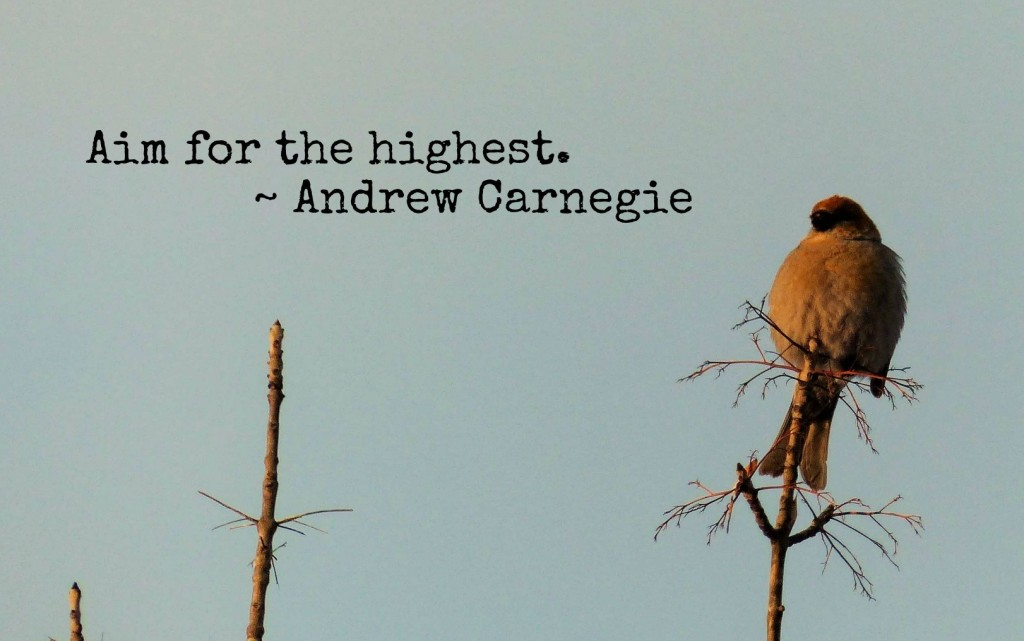 pine grossbeak on a branche with the andrew carnegie quote aim for the highest
