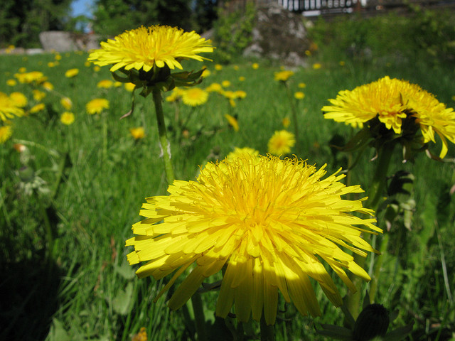 3 yellow dandelions with many more behind